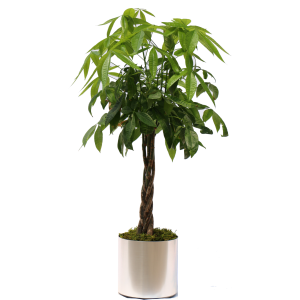 Money Tree Plant Package