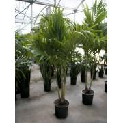 "Adonidia Palm- 14"""
